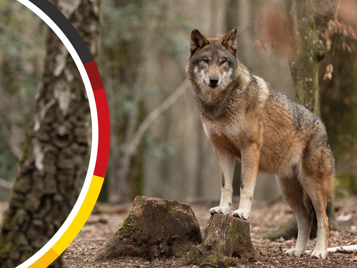 Überarbeitung der Brandenburger Wolfsverordnung geplant